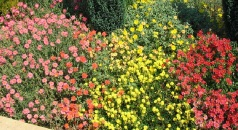 Helianthemum Display Border
