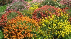 Helianthemum Field Display Border