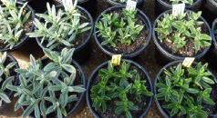 Helianthemum Propgataion by Cuttings